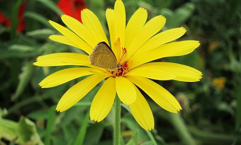 Butterfly in yellow calendula flower